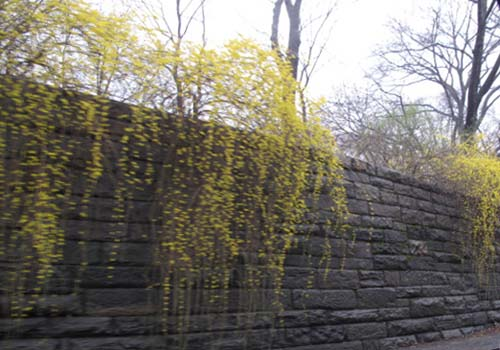 Yellow Forsythia against Brown Stone Walls of Central Park.....