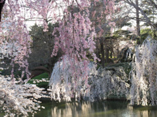 The Backlit Cherries Reflecting in th Brooklyn Botanical Garden's Japanese Garden's Pond are mircaclous.