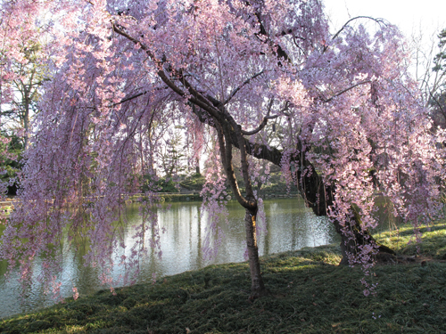 Early Weeping Cherry Framing the Pond