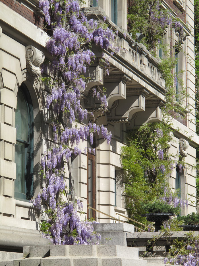 WISTERIA as old as the Cooper-Hewitt Mansion?