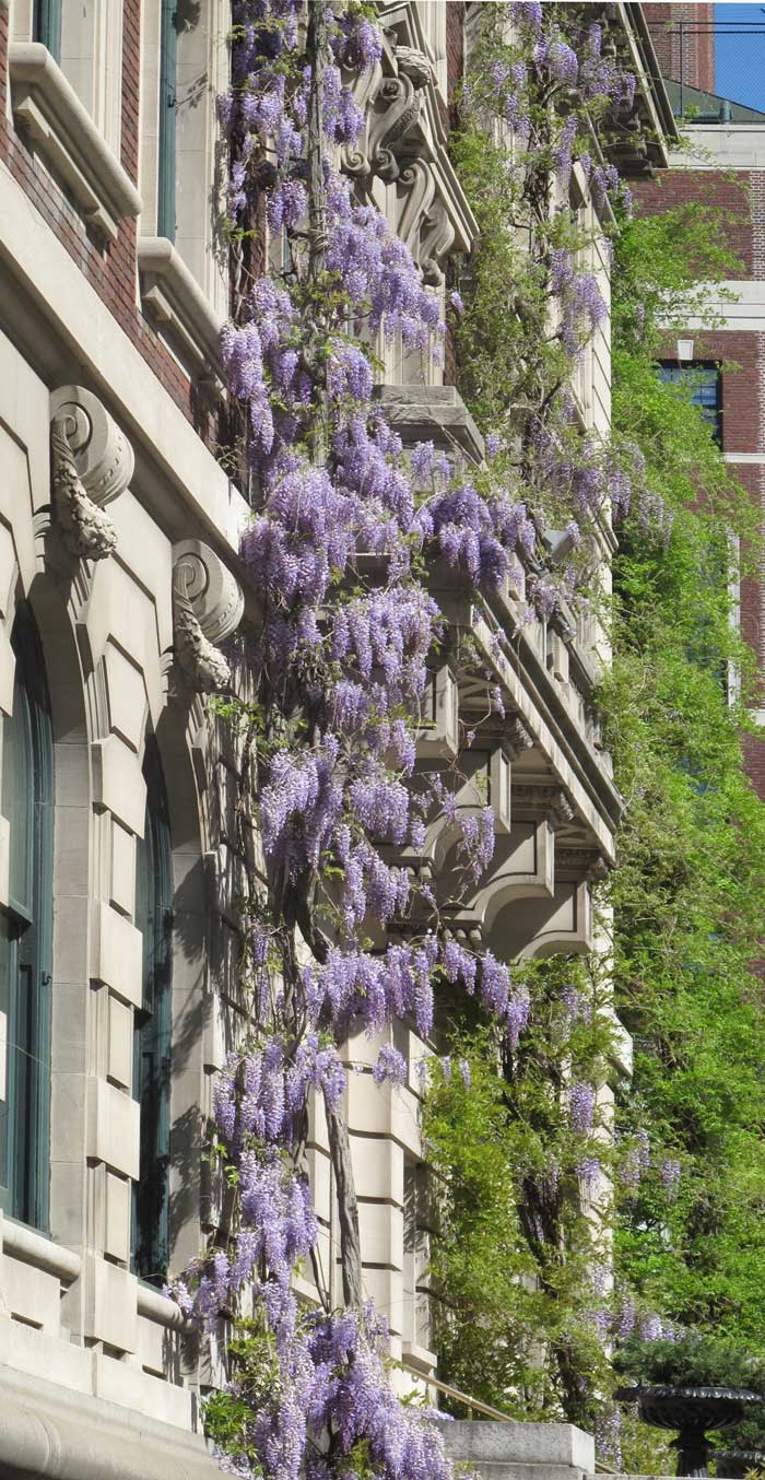 Wisteria at The Cooper-Hewitt Design Museum